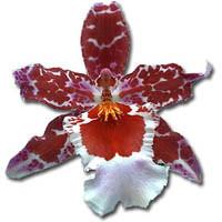 Cambria Orchidée Languedoc