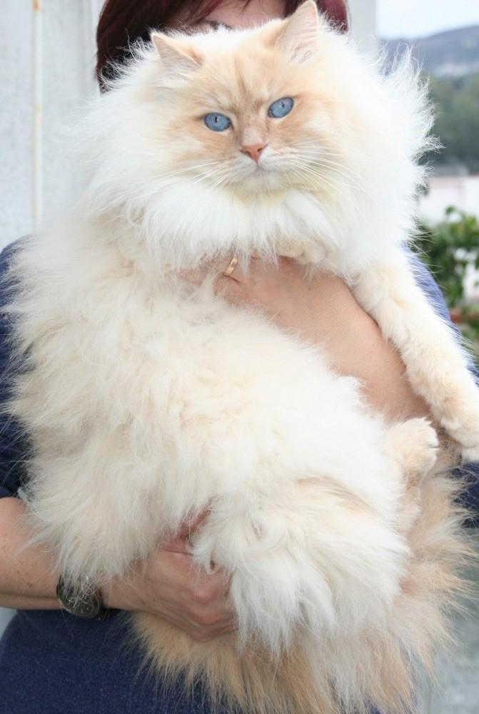 gatto siberiano red tabby point,gatti siberiani, allevamento, gatti, cuccioli, siberiani, siberiano,