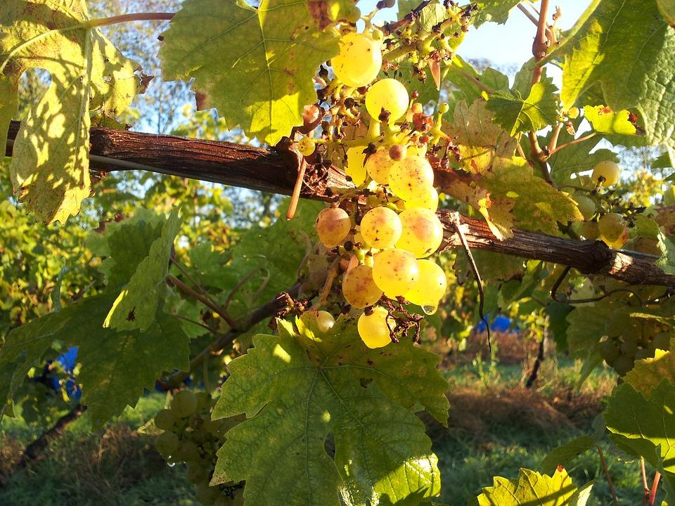 Itinerari di vino. Toscana. Vite.  Blog Etesiaca