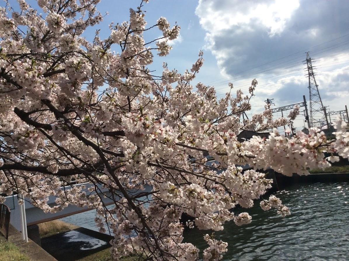 「大津茂川の桜」かこさん