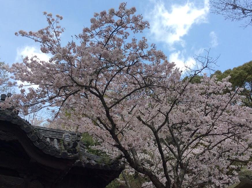 「青空の桜」よっちゃん