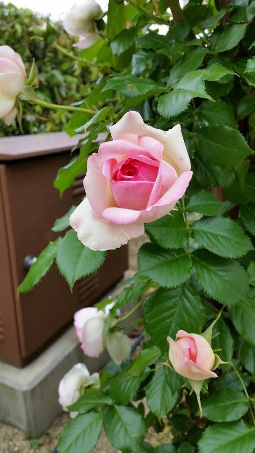 「離宮公園のバラ」のりちゃん