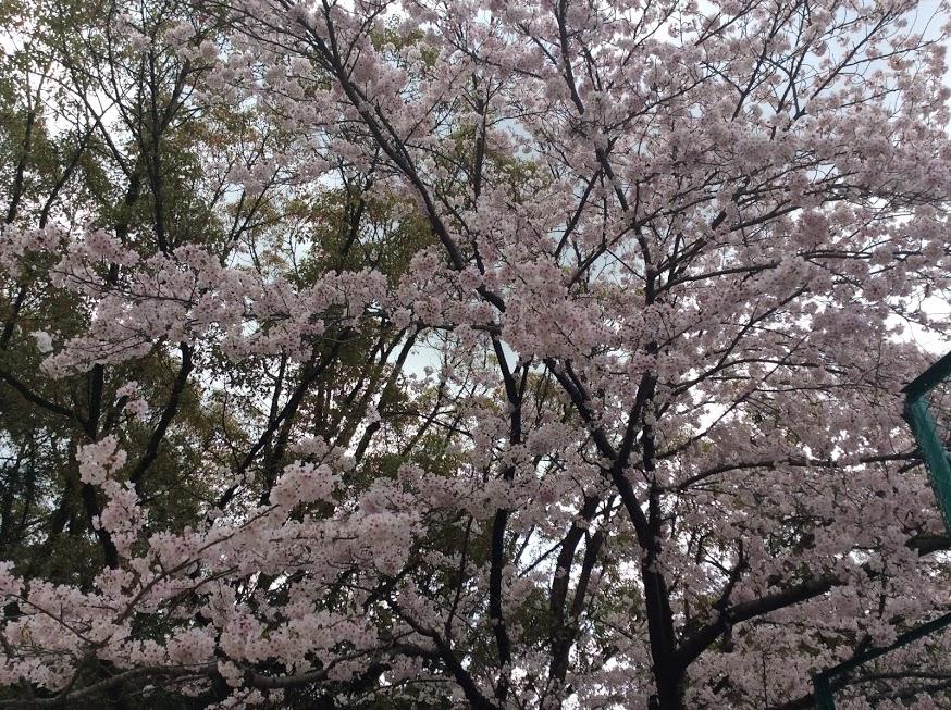 「山戸春日神社の桜」さとちゃん