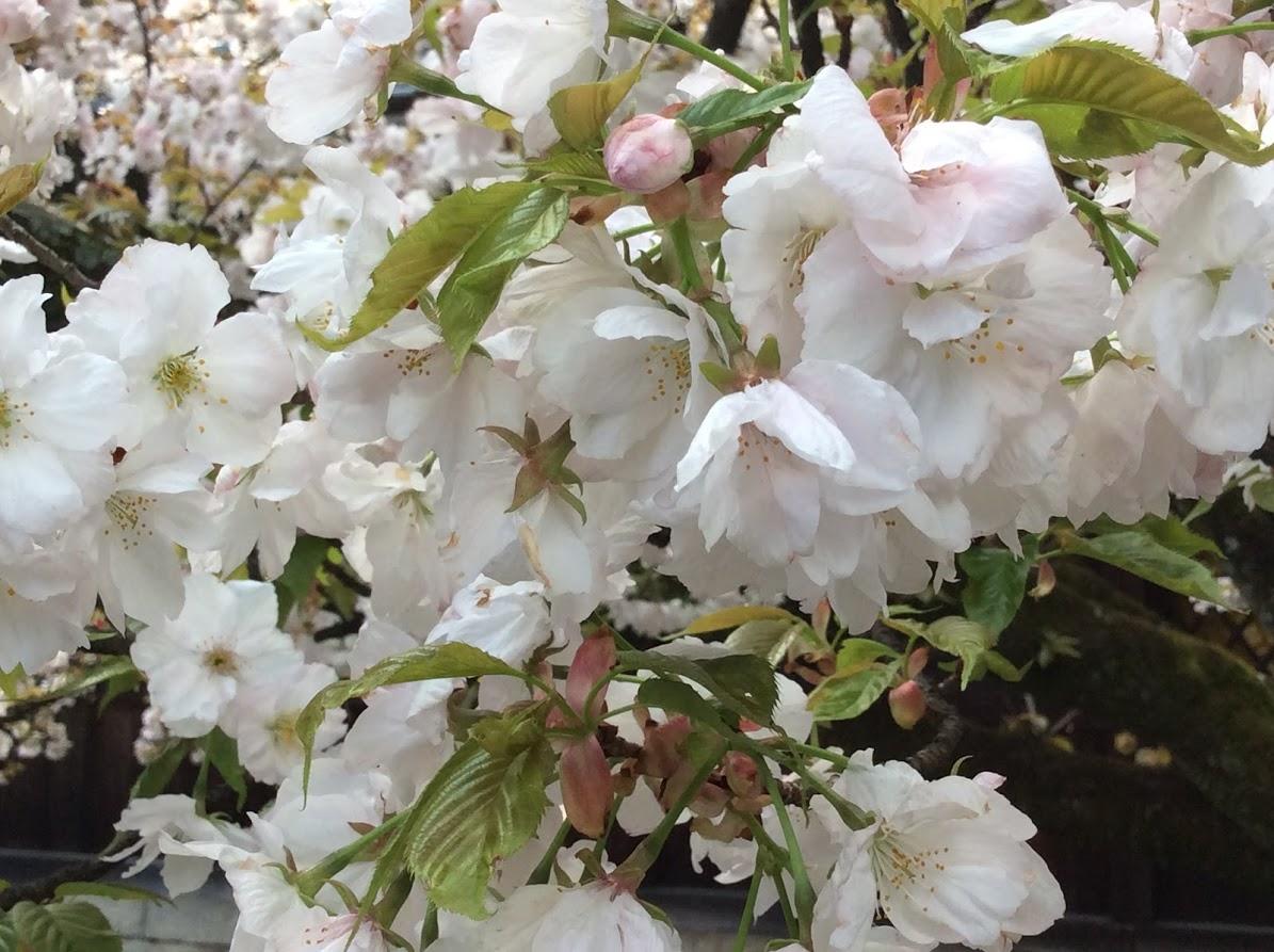 「桜の花びら」照ちゃん