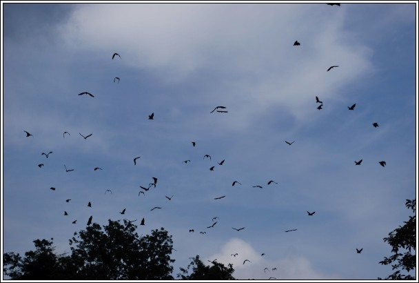 Fruit Bats At The Kra Siao River - Dan Chang - Suphanburi Province