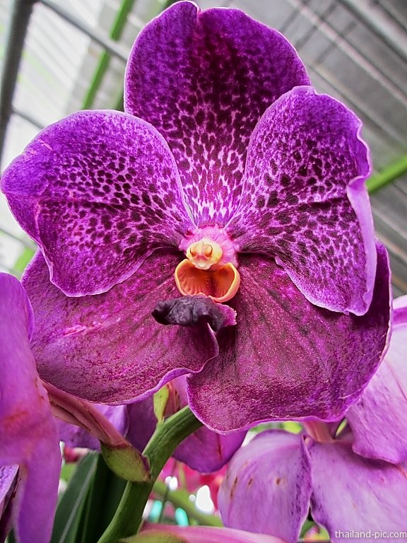 Orchid at  the Nonthaburi Flower Market