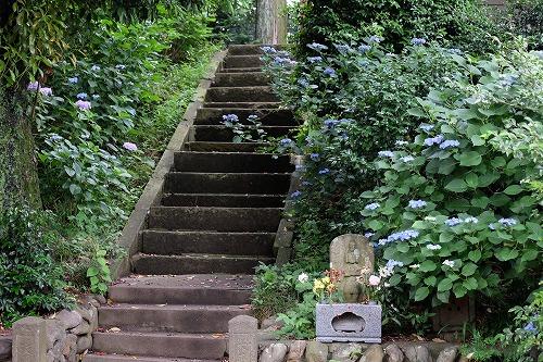 妙見堂の紫陽花