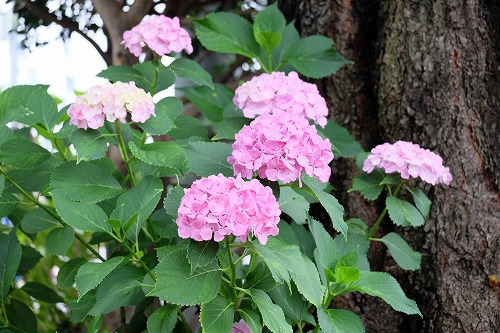 円泉寺の紫陽花