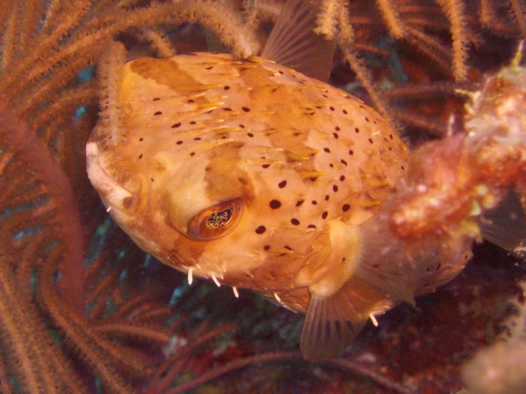 Kugelfisch - Mexiko