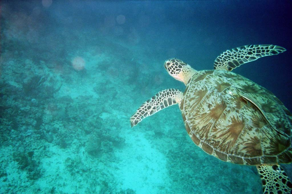 Schildkröte - Malaysia (Borneo)