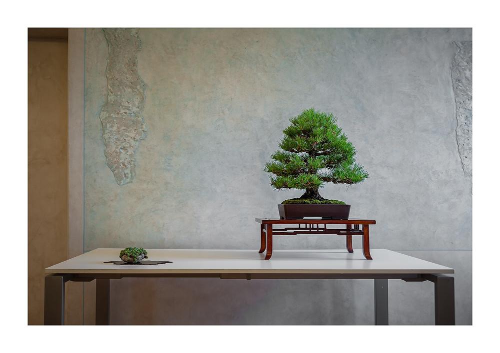Pino nero - Pinus nigra (Stile eretto formale  Chokkan)