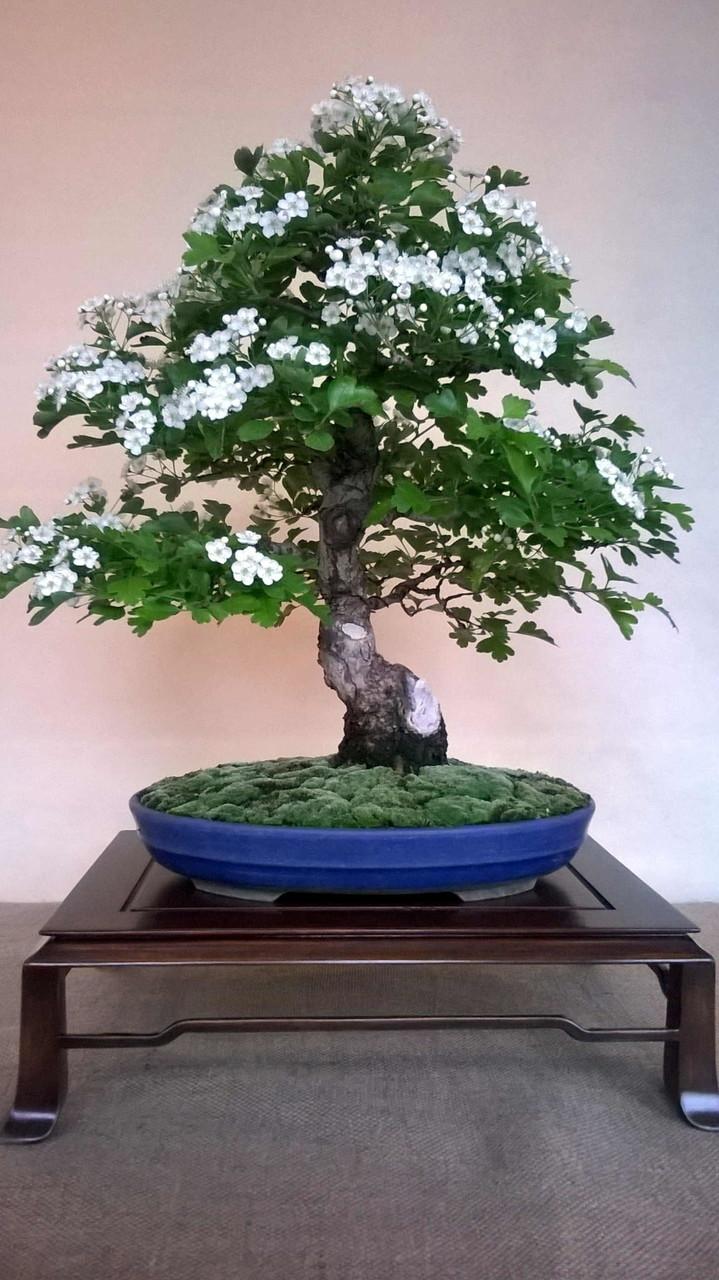 Biancospino - Crataegus monogyna  (Stile eretto informale  Moyogi)