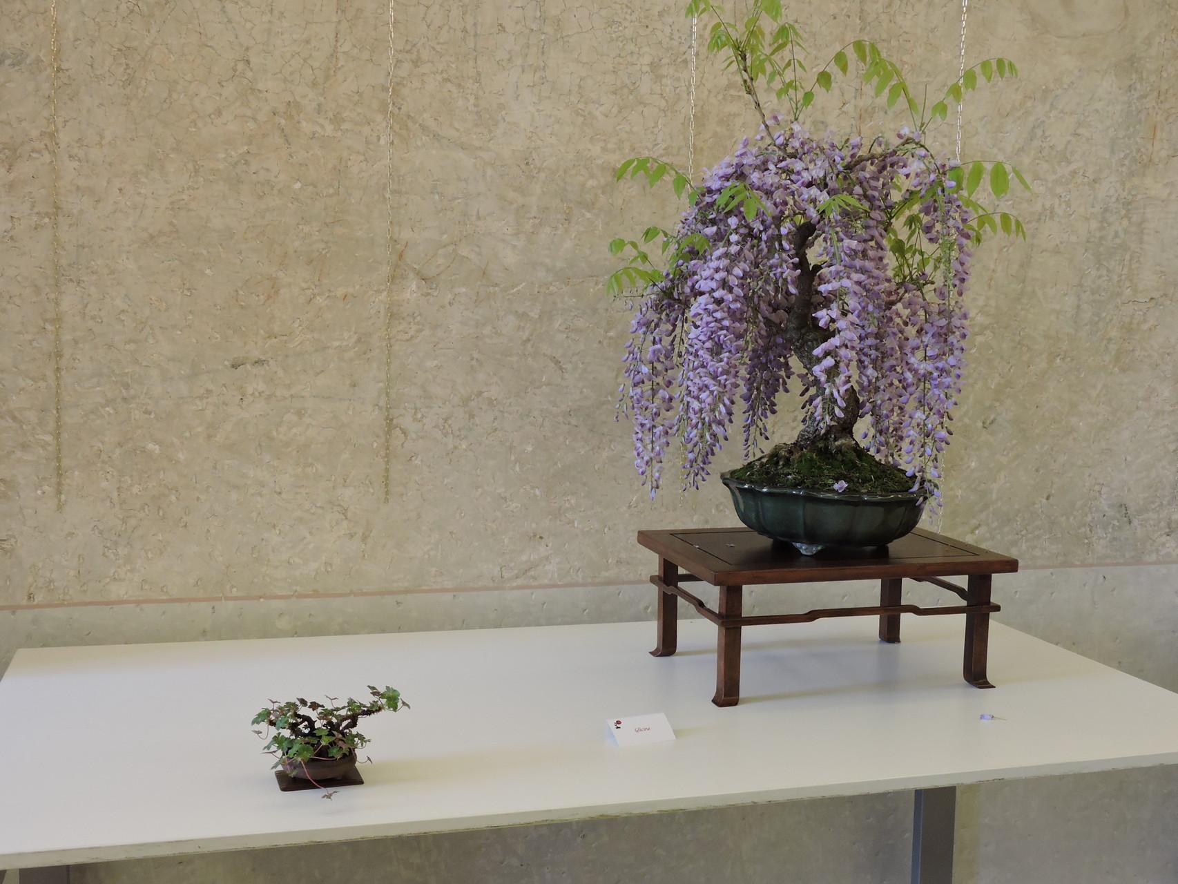 Winsteria sinensis, Glicine in fiore