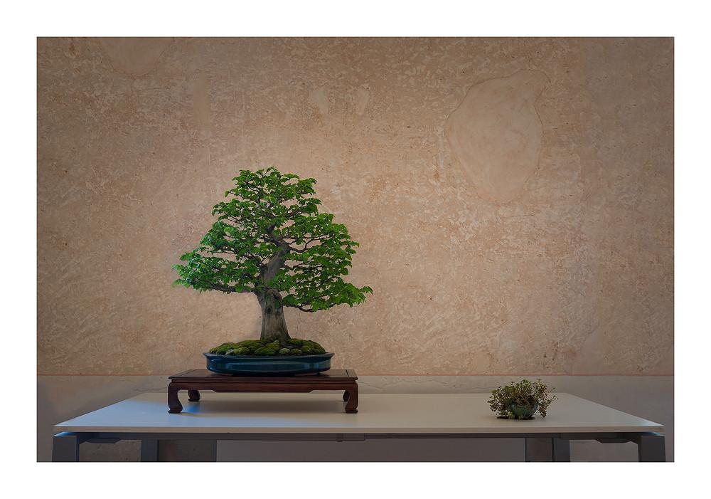 Carpino bianco - Carpinus betulus  (Stile eretto informale  Moyogi)