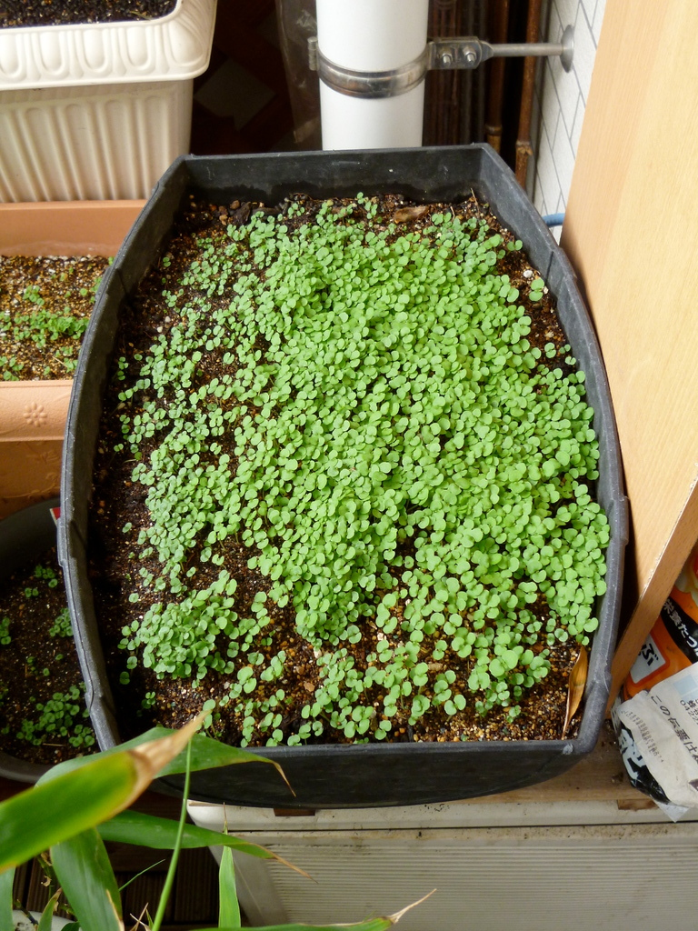 シソ/昨年収穫した種が、今年もまた芽吹きました(H24.5.1)