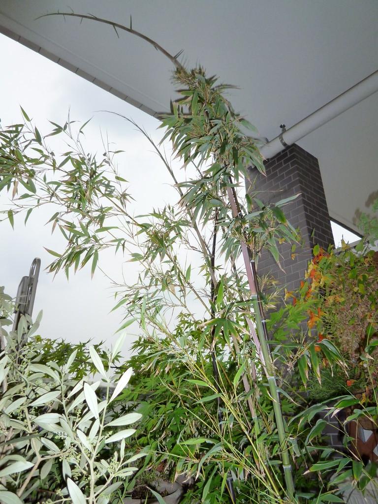 黒竹/筍が出て3週間目で天井に届いて曲がり始めた(5.17)