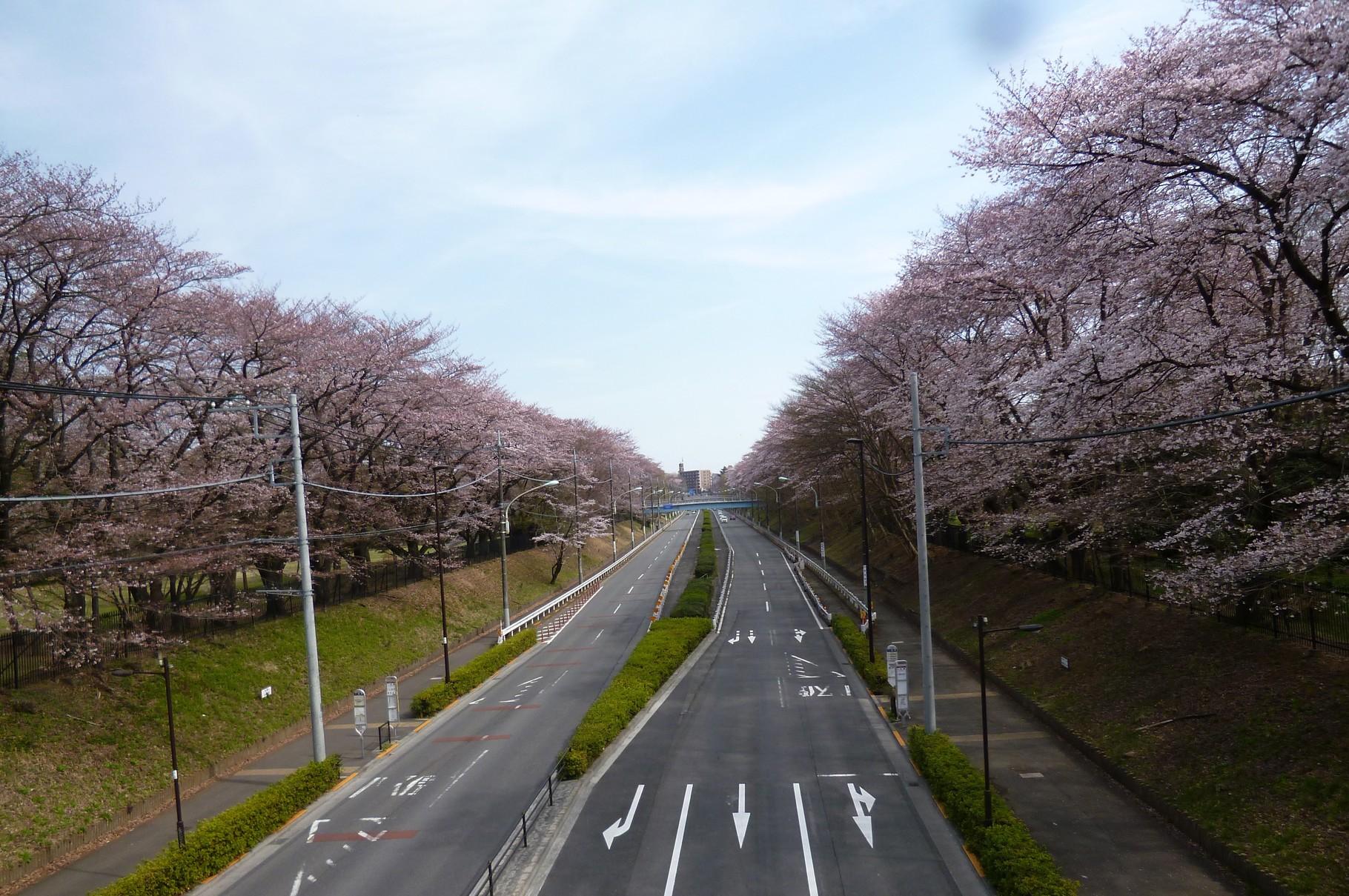 野川沿いの風景/東八道路沿い桜並木(h28.3.31)