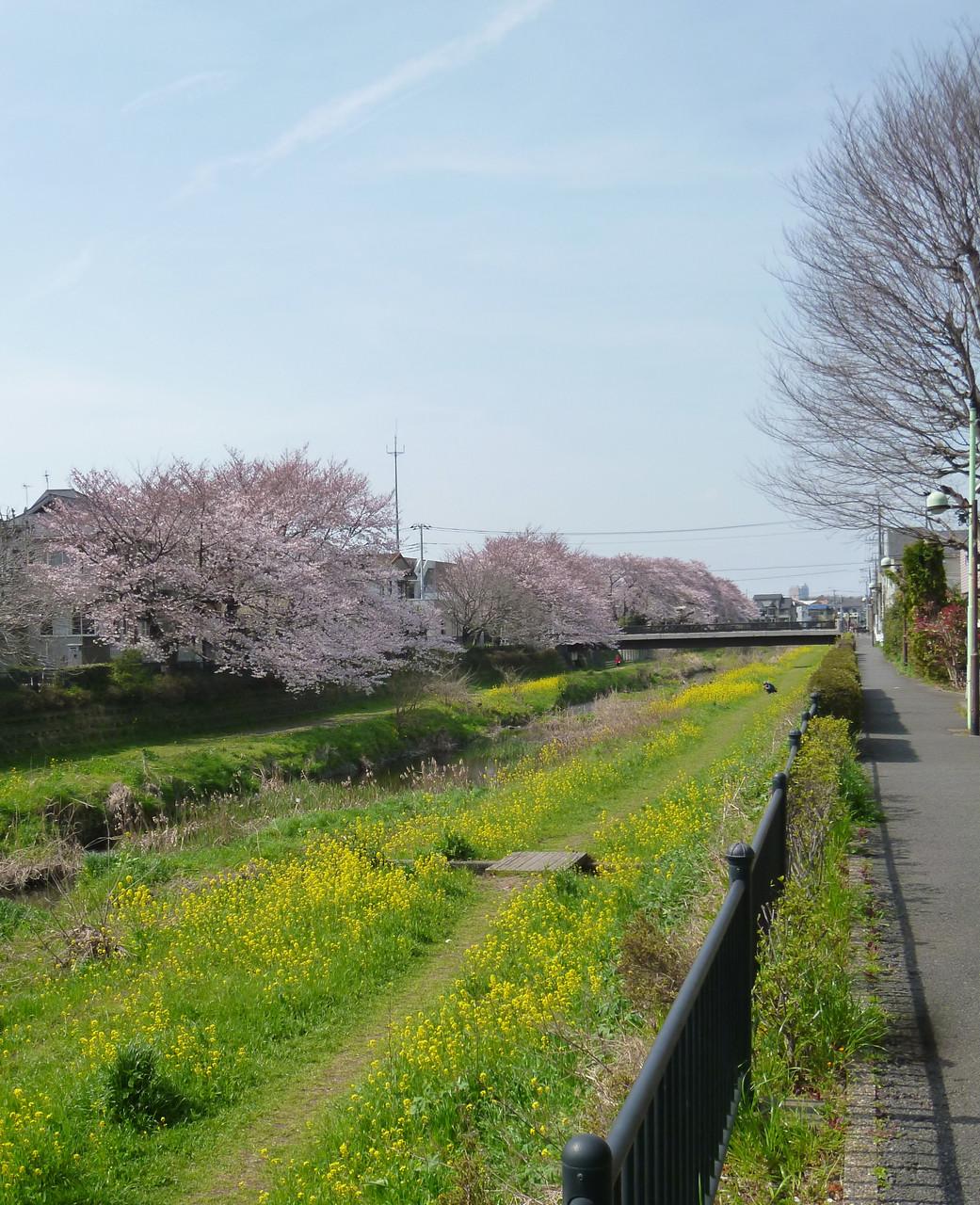 野川沿いの風景/桜と菜の花(h28.3.31)