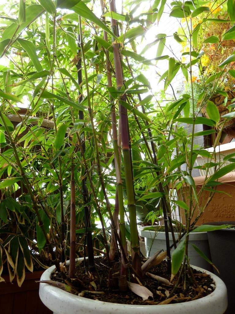 黒竹/筍が出て2週間でもう1メートル以上伸びる(H24.5.11)