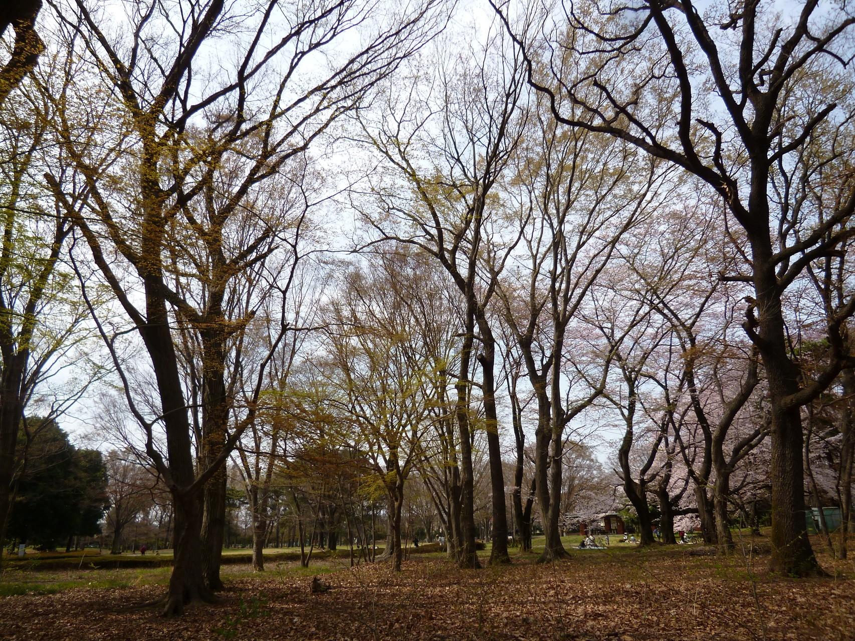 野川公園/樹々(h28.3.31)