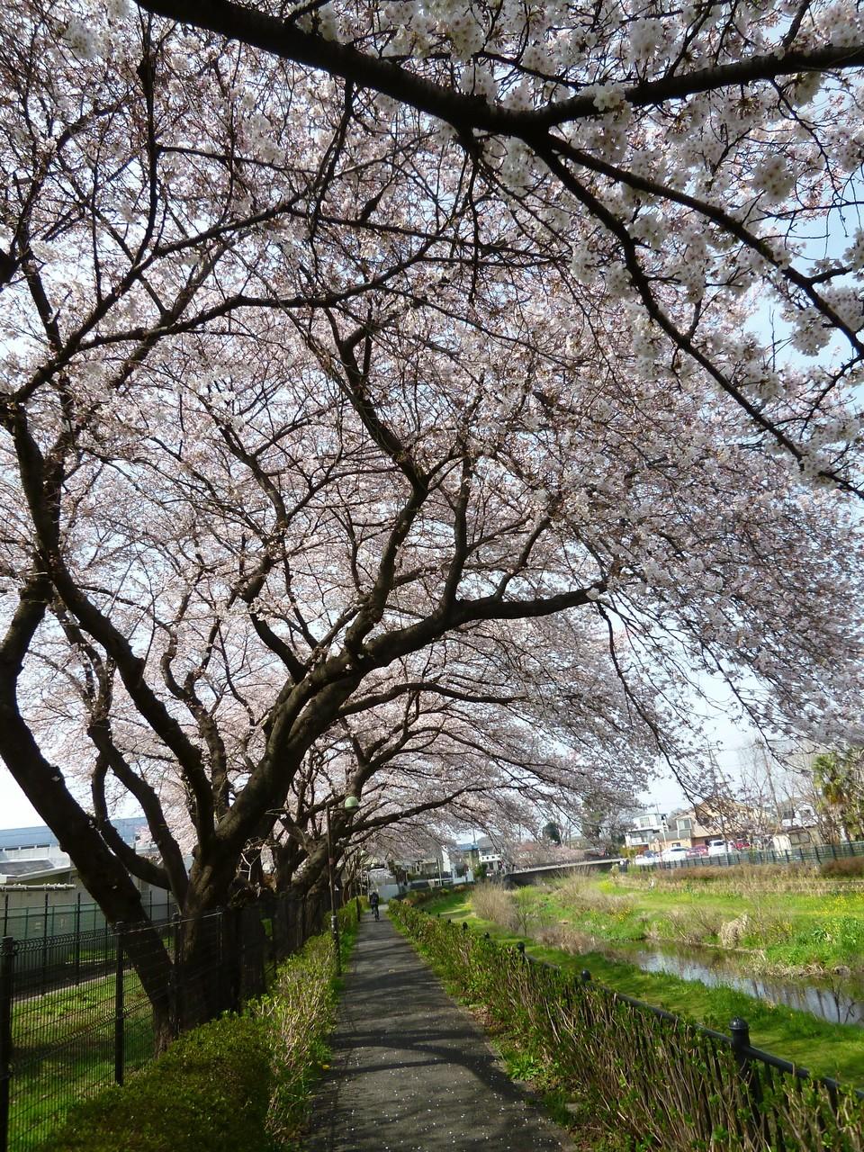野川沿いの風景/桜のトンネル(h28.3.31)