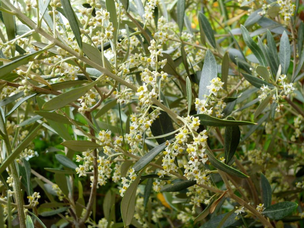 オリーブ開花(H24.5.25)