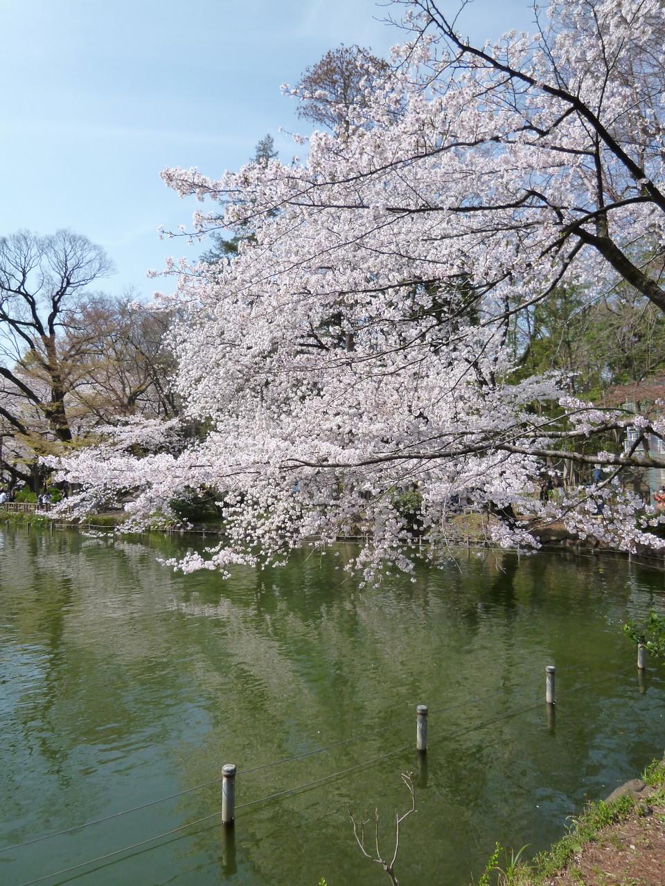 井の頭池〜桜(2014.4.1)
