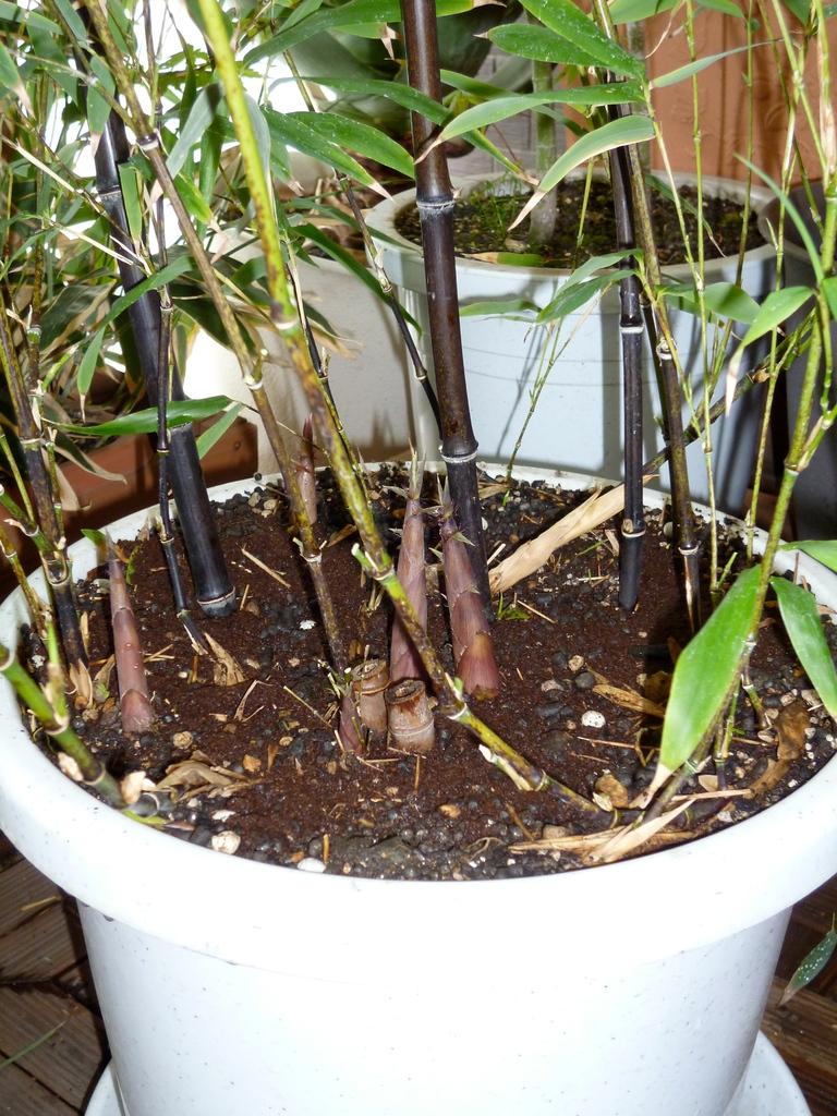 黒竹の筍/昨年冬に鉢替えして、今春4本出てきました(H24.4.29)