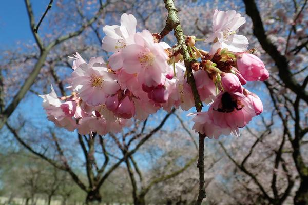 Es lohnt sich ein Blick auf einzelne Zierkirschblüten zu werfen