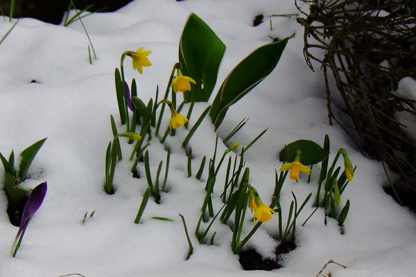 Frühlingsboten trotzen dem Schnee