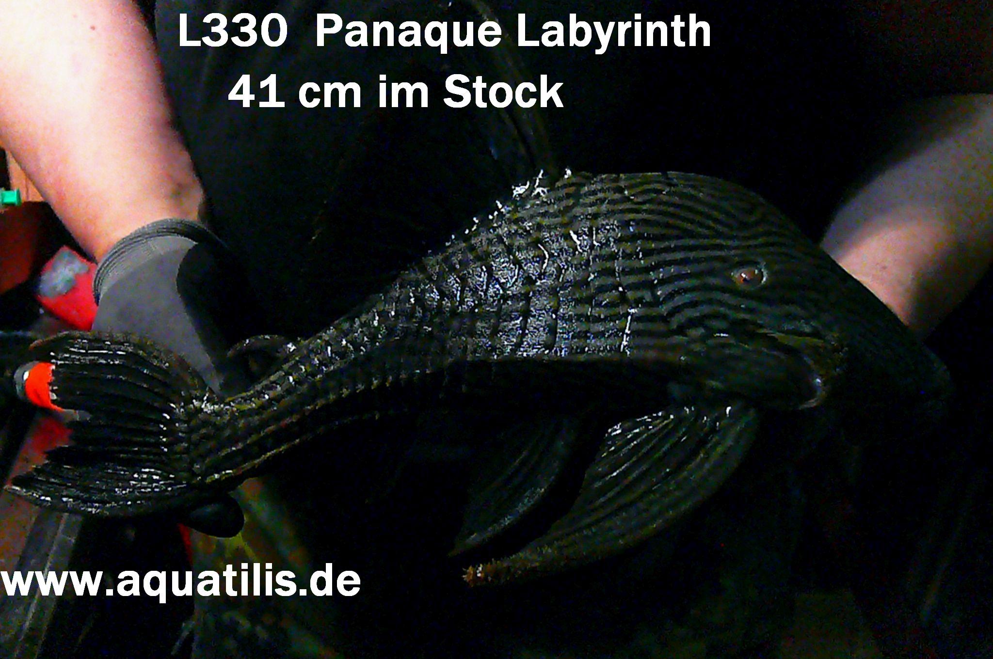 L330 Panaque im Stock - Foto:  aquatilis.de  Peter Jaeger