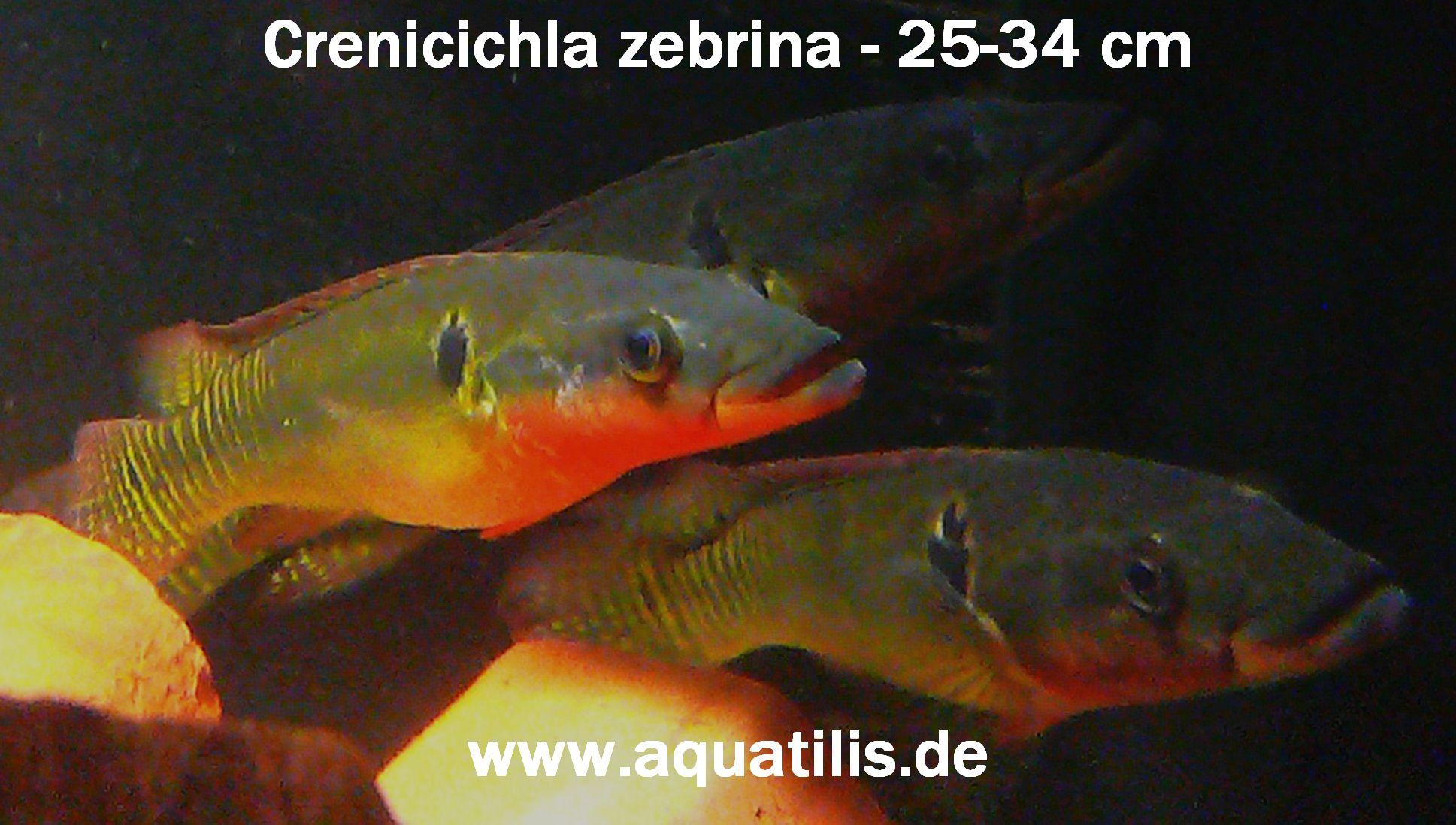 Crenicichla zebrina,  24-34 cm,  Foto: Peter Jaeger  AQUATILIS