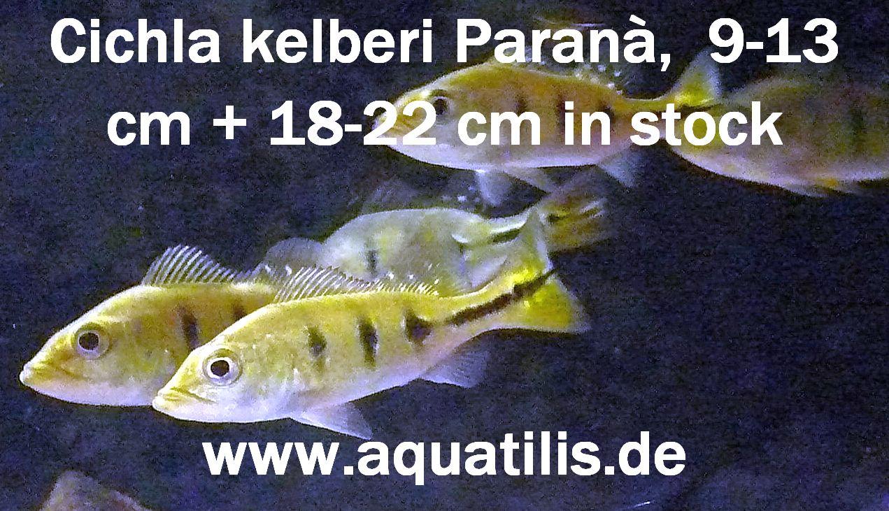 Cichla kelberi  - wild caught - Foto:  Peter Jaeger  Aquatilis
