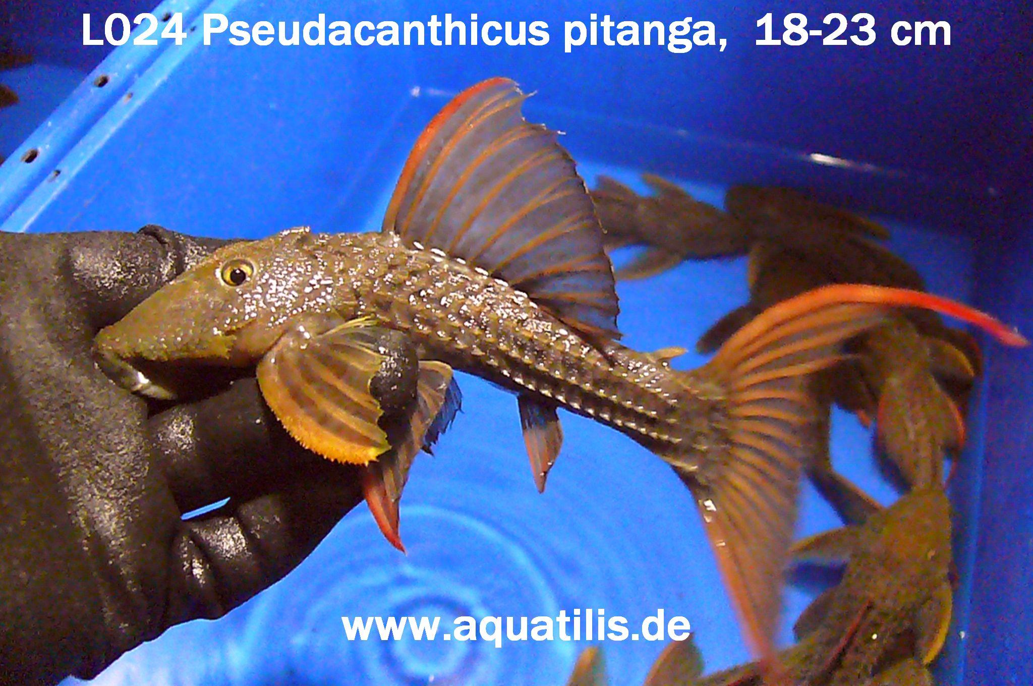 L024 Pseudacanthicus pitanga,  18-23 cm, Foto: Aquatilis Peter Jaeger
