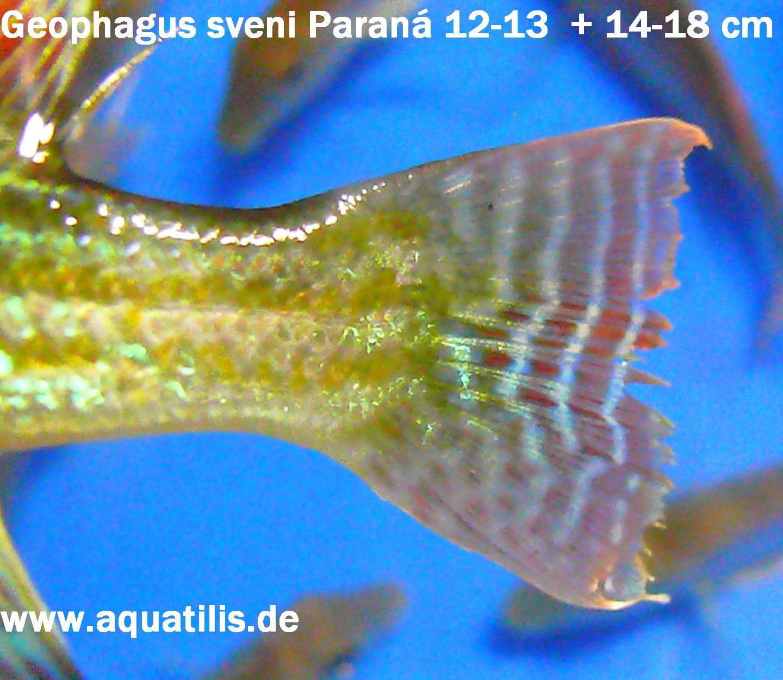 Geophagus sveni Paraná, wild caught, Foto:  Aquatilis  Peter Jaeger