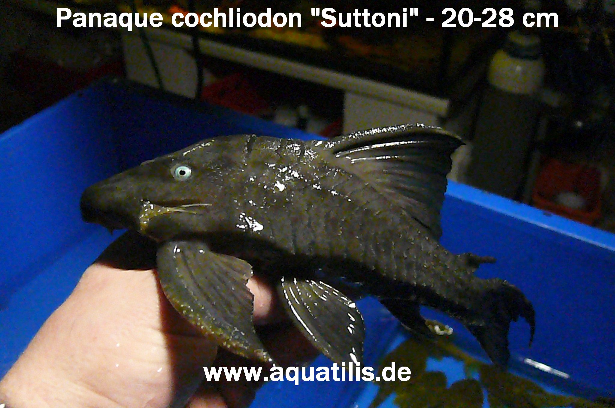 "Panaque Cochliodon ""Suttoni"",  Foto:  Peter Jaeger  AQUATILIS"