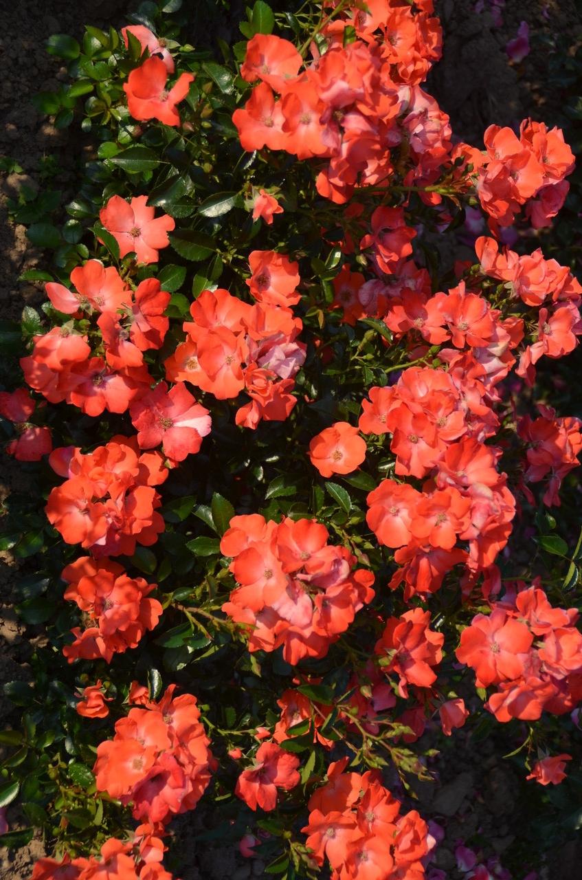 Bodendeckerrosen Rosenshop Haemmig