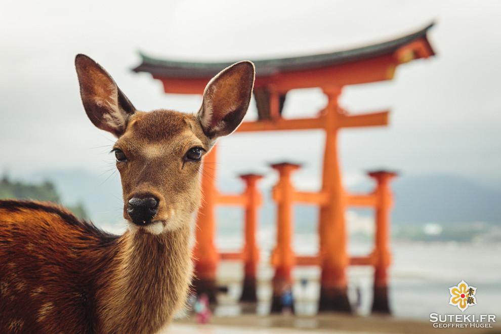 Les cerfs sika et le grand torii flottant de Miyajima