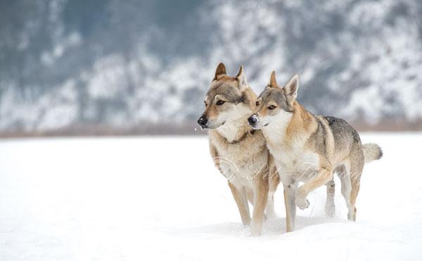 Darik und Delphi Spirit of the Wolf