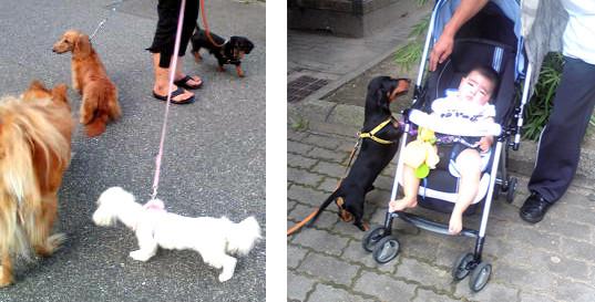 仲良しの散歩仲間たち                 赤ちゃんの面倒見もいいマロくん