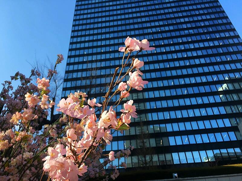 Kirschblüten (sakura)