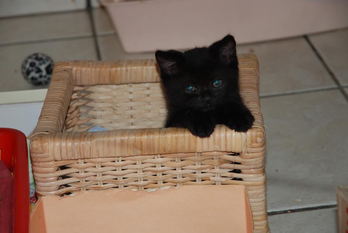 Daisy, chaton brown