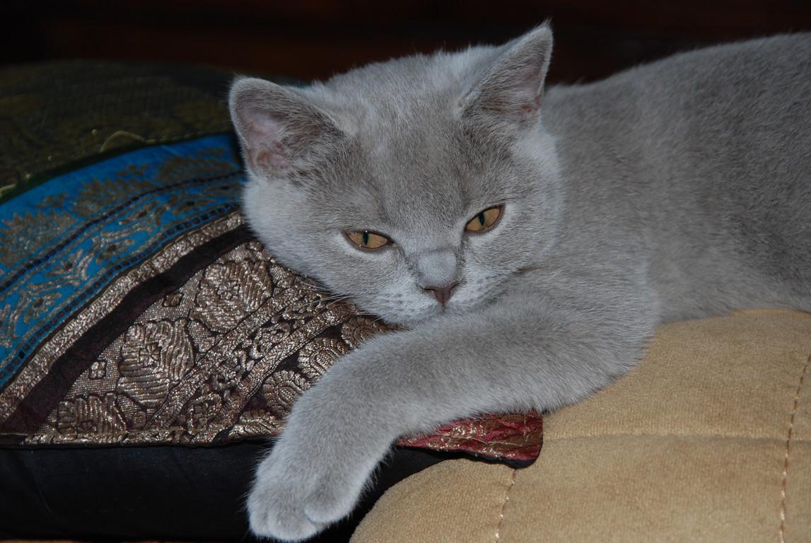 Dana, femelle lilac, a quitté la chatterie en juillet 2009