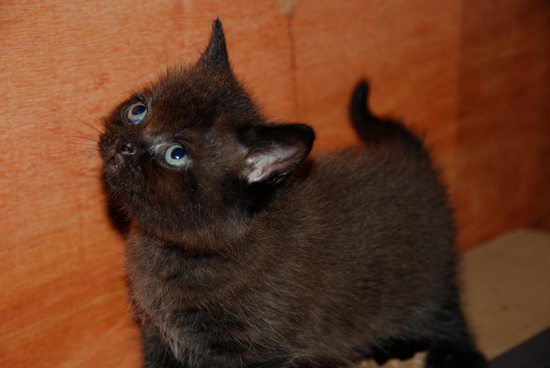 Lancelot, chaton chocolat ( réservé)