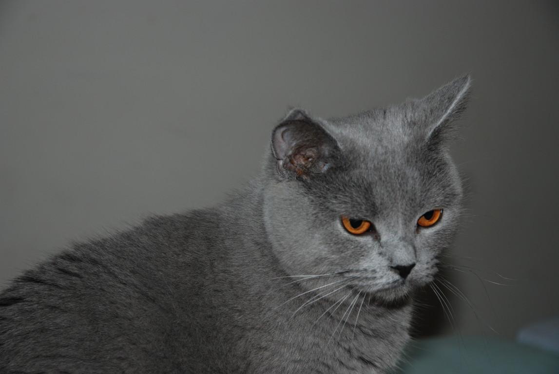 Carambole, femelle bleue, a quitté la chatterie en janvier 2009