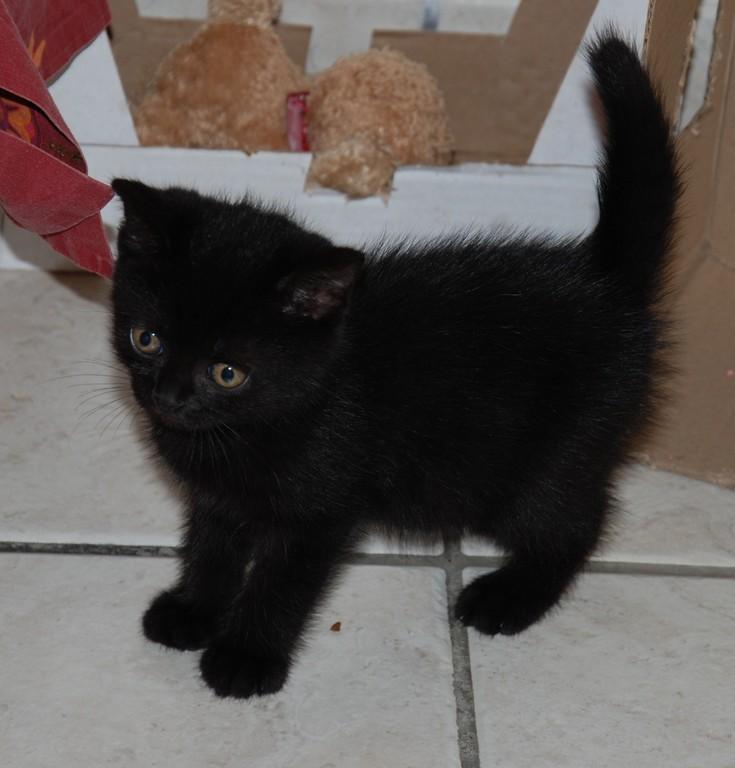 Diabolo, chaton noir