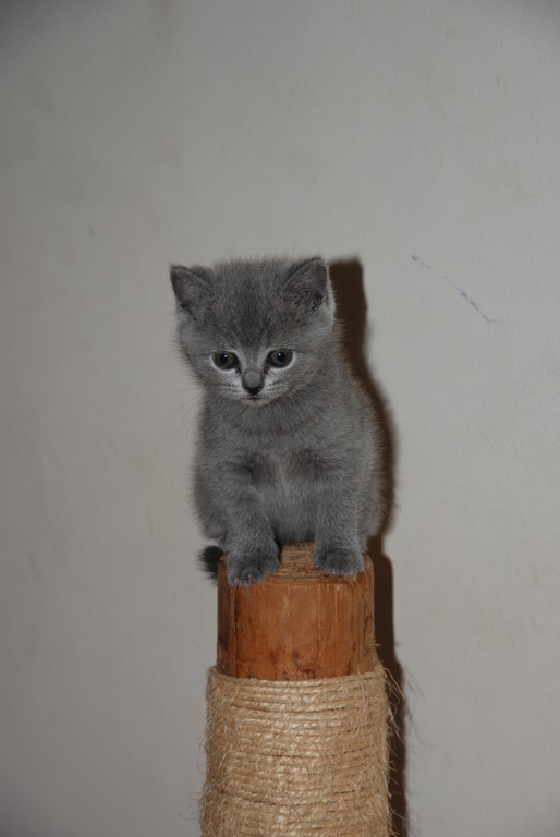 Diddle, chaton bleu