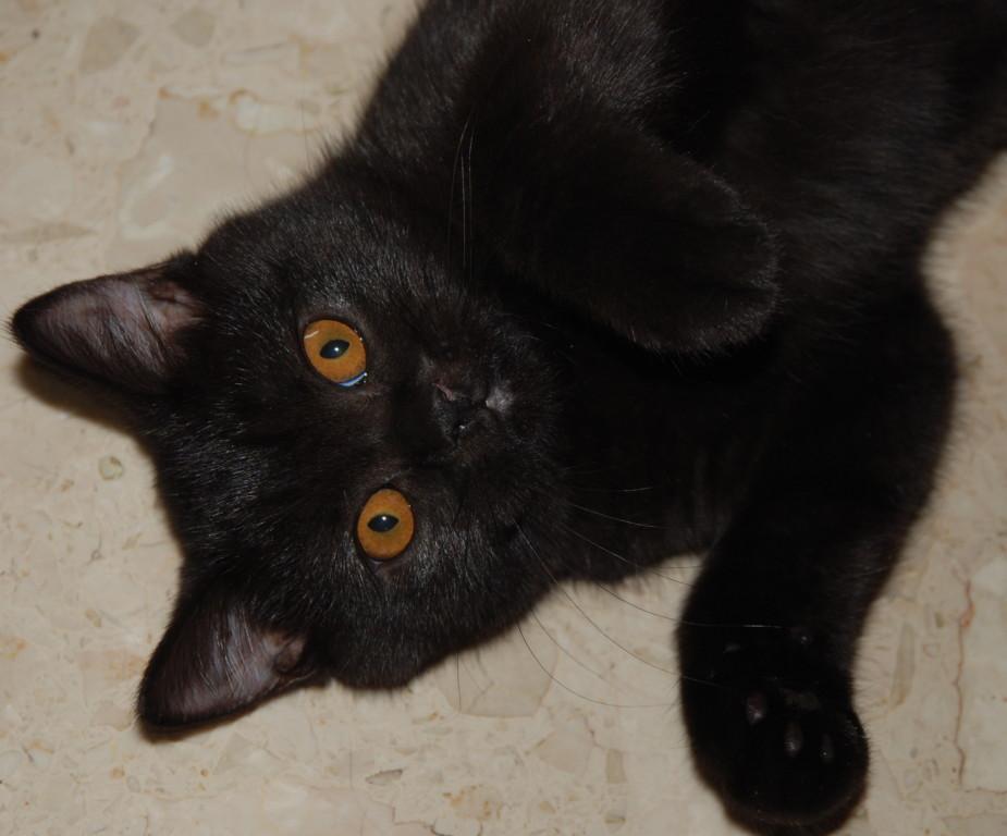 Ebenka, notre chatounette noire aux yeux d'or