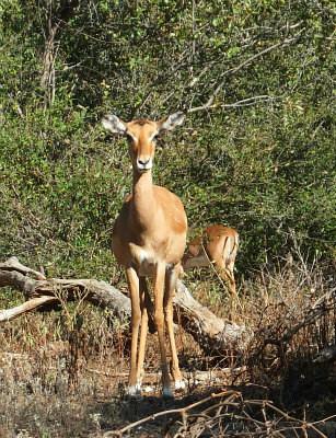 Impala at Victoria falls