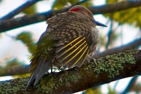 A Yellow-Shafted Flicker displaying its yellow wing tips.
